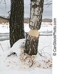 Tree - Ambitious Beaver - An eager beaver bit off more than...