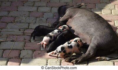 pig feeds little pigs