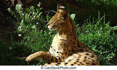 serval  lies on a grass