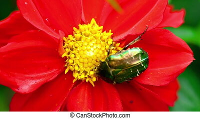 Cetonia Aurata on the Red Dahlia flower - Cetonia Aurata...