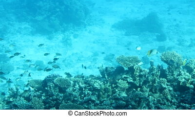 fish among corals under water in Red Sea