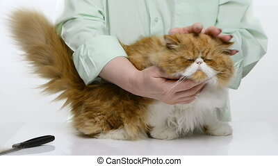 The woman masses and irons long hair of a red beautiful cat...