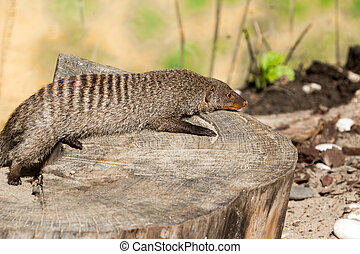 the striped mongoose rests on a stump in Ruaha National Park...