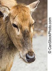 Female Pere Davids deer, summer hot day - Female Pere Davids...