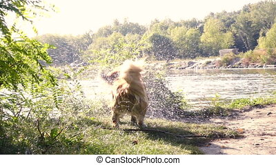 shaking out welsh corgi fluffy dog on a river bank