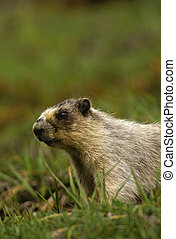 Hoary Marmot - a hoary marmot in green alpine grass