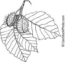 Beech branch with leaves and fruits. Hand drawn botanical...