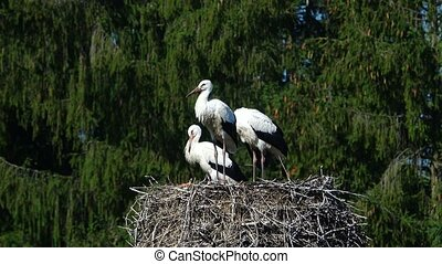 storks - seed of storks on a nest