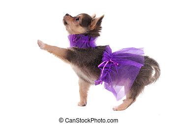 Funny Dressed Chihuahua marching with a paw up