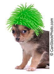 Funny Dog Hair - Small Chihuahua Dog with Funny Green Hair