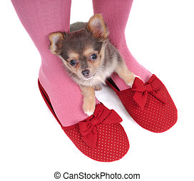 Chihuahua in the Slippers - Small Chihuahua Hidding in the...