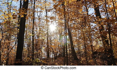 Sunny fall forest.