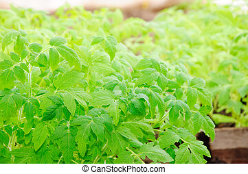 tomato seedling - green vegetable