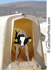 Holstein Dairy Calf - Holstein dairy calf in a hutch with...