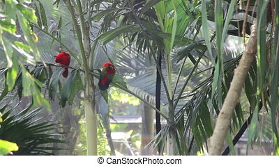 Red parrots - Tropical Bird , Bali
