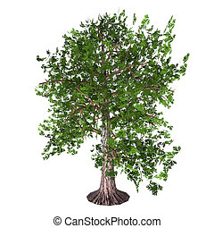 Oak Tree - The Oak tree comes in 600 different species as a...