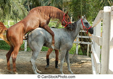 Horse Mating - An Arabian stallion mating with a white Anglo...