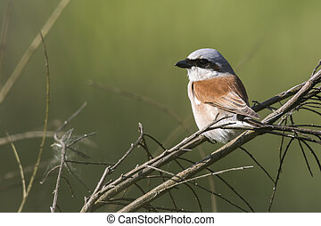Red-backed shrike (Lanius collurio) - A red-backed shrike is...