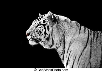 White tiger on a black background