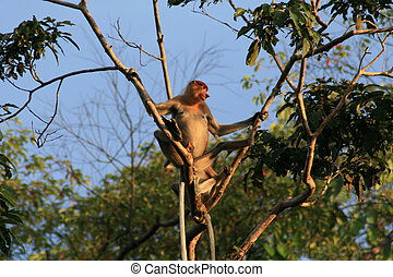 proboscis monkey - Proboscis Monkey looks out from tree in...