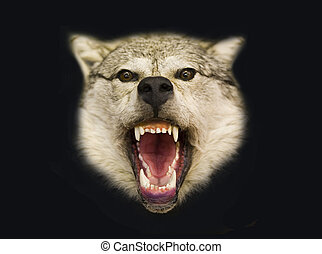 Northern wolf - Stuffed animal of a wolf on a black...