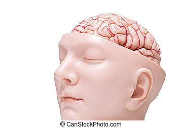 Human brain model isolated on the white background - Oblique...