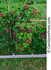 Blackberry bush growing with lots of fruit. An early summer...