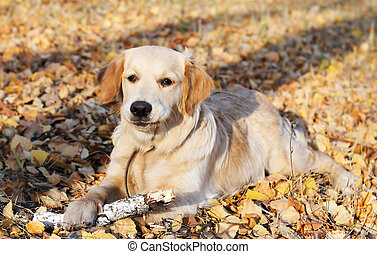 Golden Retriever - Young Golden Retriever dog laying on...