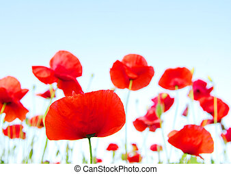 red poppies - Bright red poppies in sunny day