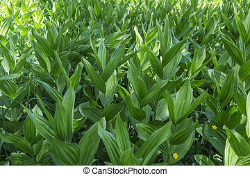 Corn Lily (Melanthieae Veratrum) in the forests of the...