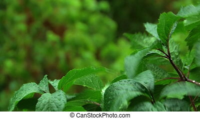 green leaves under rain