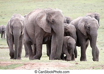 African Elephants - Herd of African elephants on the move...