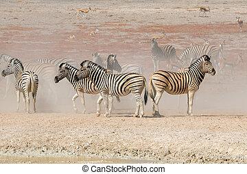 Plains zebras in dust - Plains zebras (Equus burchelli) in...