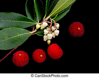 Wild Arbutus unedo - flowers and fruit on black. Aka...