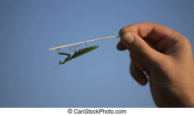 Mantis on a man's hand. Man is photographing a praying...