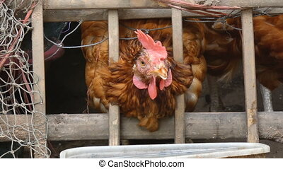 4K Close up shot chicken eating food in countryside farm...