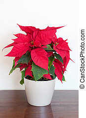 Poinsettia on a wooden table - christmas house plant