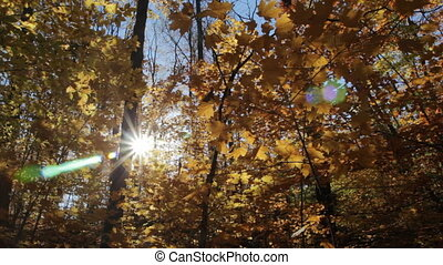 Sunny fall forest. Low angle.