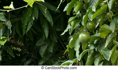 4K Fresh unripe passion fruit on nature wood High vitamin...