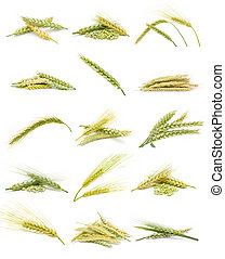 ears of corn - collection of ears of corn isolated on white...