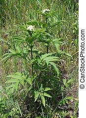 Poisonous danewort Sambucus ebulus - Poisonous danewort...
