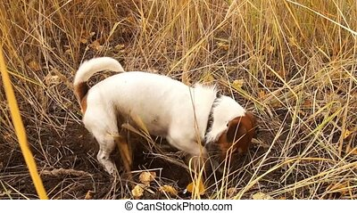 Jack Russell is digging a hole - Jack Russell digs a hole in...