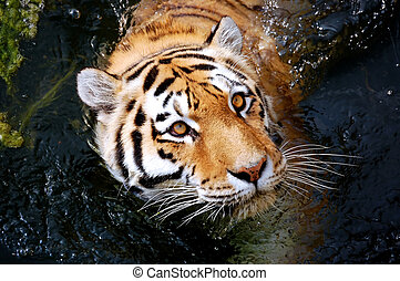 Siberian tiger - Siberian Tiger, cooling and floating in...