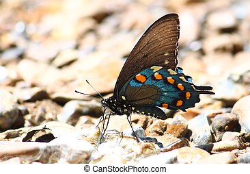 Pipevine Swallowtail Battus philenor - A Pipevine...