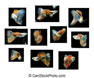 guppy, Animal estimação, peixe, tropicais, vermelho, natação