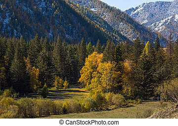 View of autumn forest of the Altay Mountains in Altai...