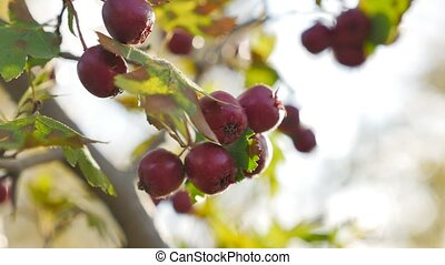 Red berries on thorny branches Red berries. autumn branch...