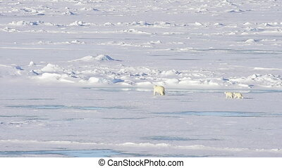 Polar bears walking in an arctic. - Polar bears, mother with...
