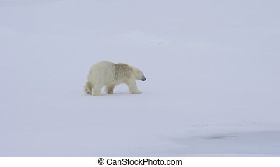 Polar bear walking in an arctic. - Polar bear walking in an...