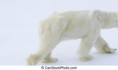 Polar bear walking in an arctic. - Very skinny Polar bear...